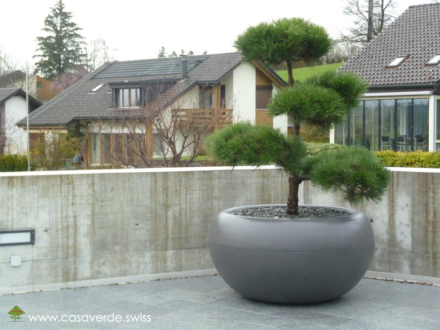 pon pon baum mediterrane pflanzen buchsbaum pompon buxus. Black Bedroom Furniture Sets. Home Design Ideas